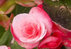 Vaaleanpunainen kukka.